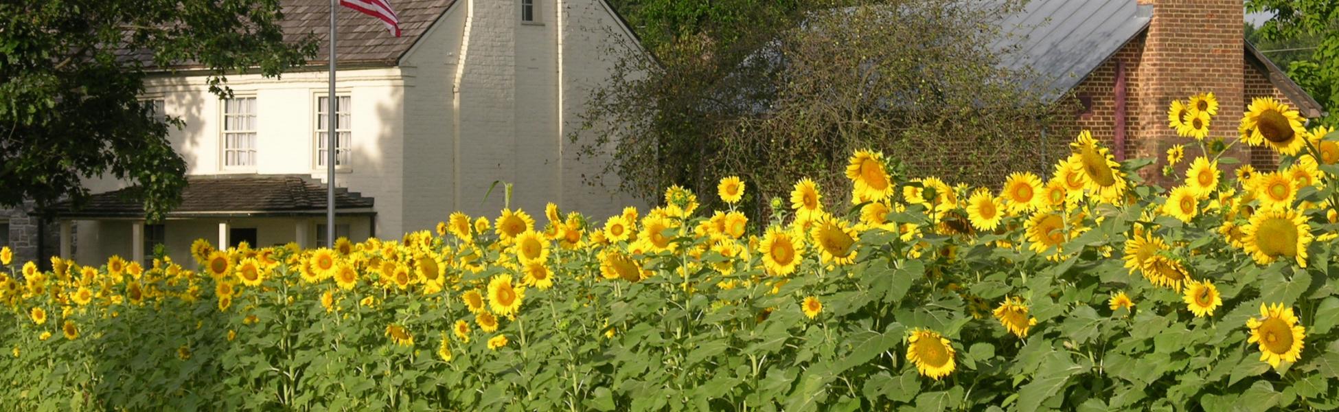 Fort Harrison Sunflowers